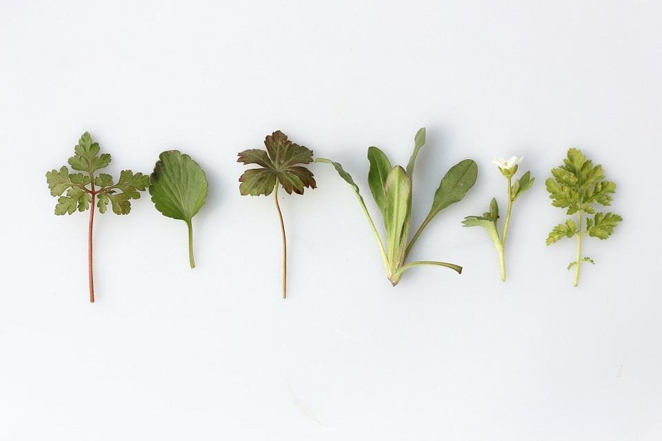 Asian Herbs